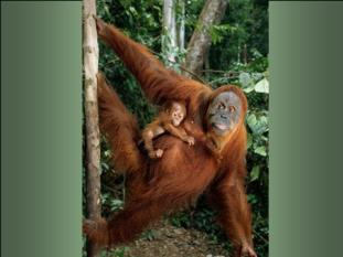 Gorila with child