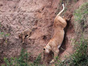 Lioness rescues a cub -jpg