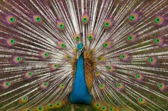 PEACOCK-COLORFUL